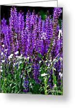 Purple Lavender Flower In Bloom  Greeting Card