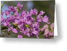 Purple Of The Bougainvillea Blossoms Greeting Card