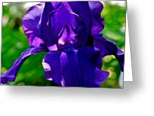 Purple Pink Iris  Greeting Card