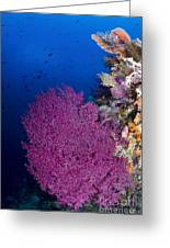 Purple Sea Fan In Raja Ampat, Indonesia Greeting Card