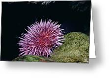 Purple Sea Urchin Feeding California Greeting Card