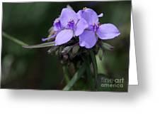 Purple Spiderwort Flowers Greeting Card