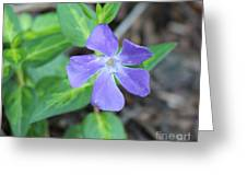 Purple Vinca Greeting Card