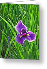 Purple Water Iris Greeting Card