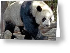 Puttin On The Panda Ritz Greeting Card