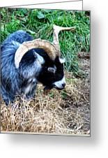 Pygmy Goat Greeting Card