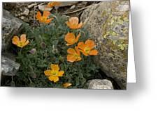 Pyrenean Poppy (papaver Lapeyrousianum) Greeting Card