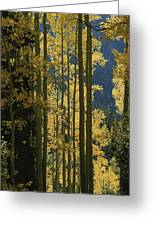 Quaking Aspen Trees Display Brilliant Greeting Card