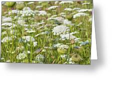 Queen Anne's Lace In All Its Glory Greeting Card