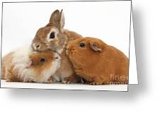 Rabbit And Guinea Pigs Greeting Card