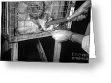 Rabid Fox, 1958 Greeting Card