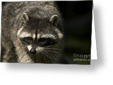 Raccoon 2 Greeting Card