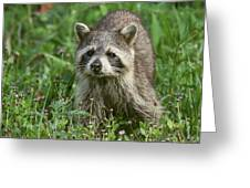 Raccoon Looking For Lunch Greeting Card