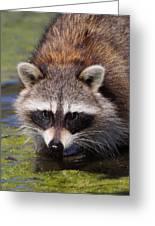 Raccoon Portrait Greeting Card