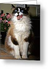 Ragdoll Cat Licks His Lips Greeting Card