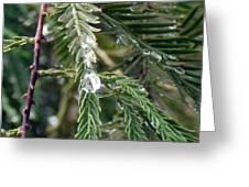 Rain Drop On Fir Tree Greeting Card