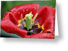 Rain Kissed Tulip 2 Greeting Card
