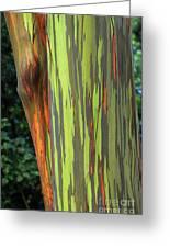 Rainbow Gum Tree Hawaii Greeting Card