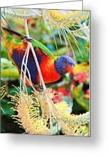 Rainbow Lorikeet 2am-8374 Greeting Card