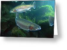 Rainbow Trout Oncorhynchus Mykiss Pair Greeting Card