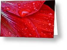 Raindrops On Amaryllis Greeting Card
