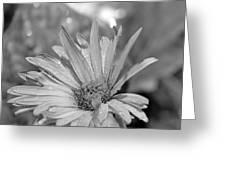 Raindrops On Daisy Greeting Card