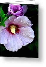 Raindrops On Roses Of Sharon Greeting Card