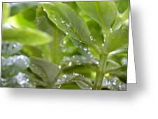 Raindrops On Sedum Greeting Card
