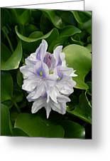 Rare Hawain Water Lilly Greeting Card by Claude McCoy