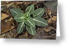 Rattlesnake Plantain A Study In Leaves Greeting Card