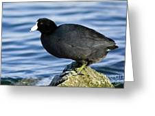 Ready Set Jump- American Coot Prepares To Dive  Greeting Card
