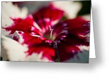 Red And White Dianthus Greeting Card