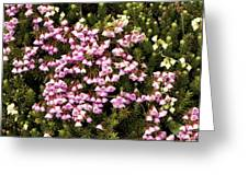 Red And White Mountain Heather Greeting Card