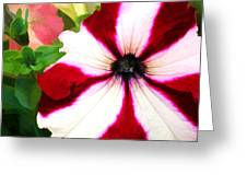 Red And White Petunia Greeting Card