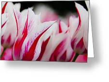 Red And White Tulips In Holland Greeting Card