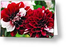 Red And White Variegated Dahlia Greeting Card