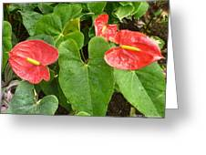 Red Anthurium Greeting Card