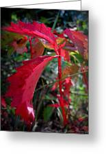 Red Autumn Woodbine Greeting Card