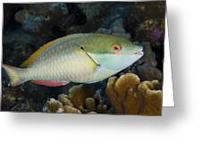Red-banded Parrotfish Bonaire Greeting Card