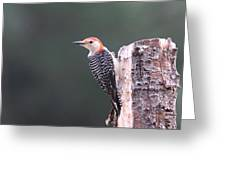 Red-bellied Woodpecker - Looking For Food Greeting Card
