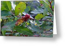 Red Berry  Greeting Card
