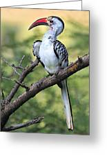 Red-billed Hornbill Greeting Card