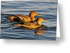 Red Breasted Mergansers Greeting Card