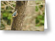 Red-breasted Nuthatch Greeting Card
