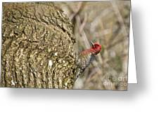 Red-breasted Sapsucker 3 Greeting Card
