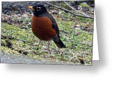 Red Brest Robin - 0001 Greeting Card