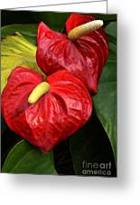 Red Calla Lily Greeting Card