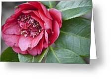 Red Camellia Squared Greeting Card