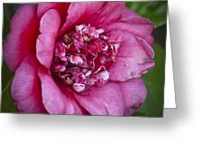 Red Camellia Greeting Card by Teresa Mucha
