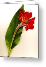 Red Canna Greeting Card